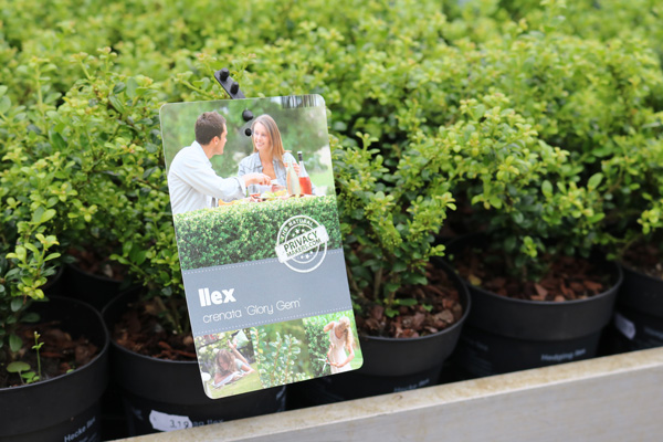 ilex plant